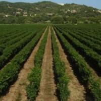 Wijnoogsten  - Vendanges - zijn begonnen in de Languedoc