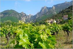 languedoc-vineyards