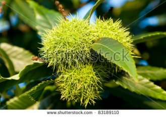 stock-photo-unriped-maroons-on-the-tree-83189110